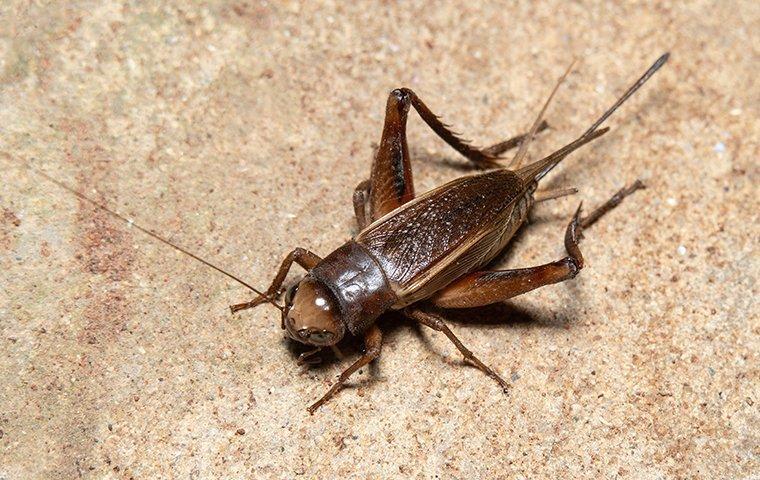 cricket up close