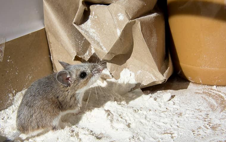 mouse eating flour in kitchen