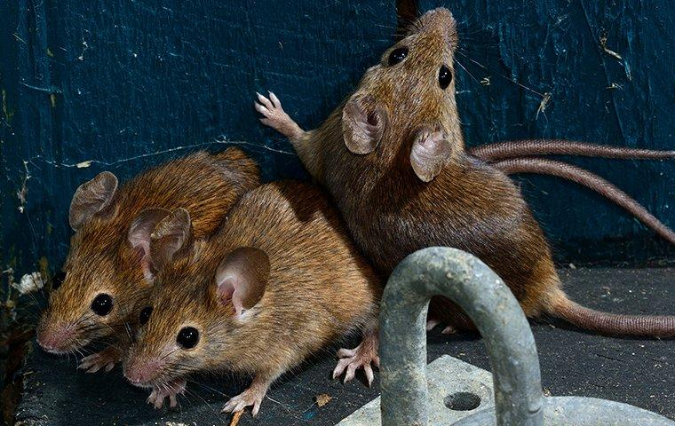 a mouse infestation in a garden shed