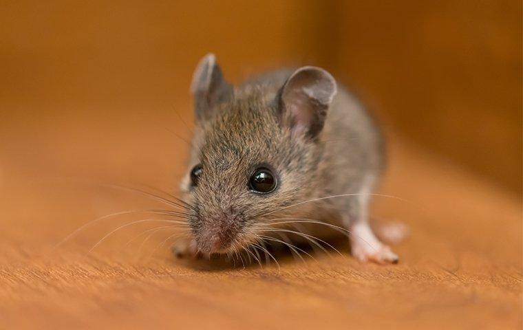 a little baby house mouse