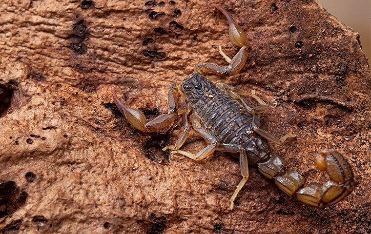 a bark scorpion on a tree