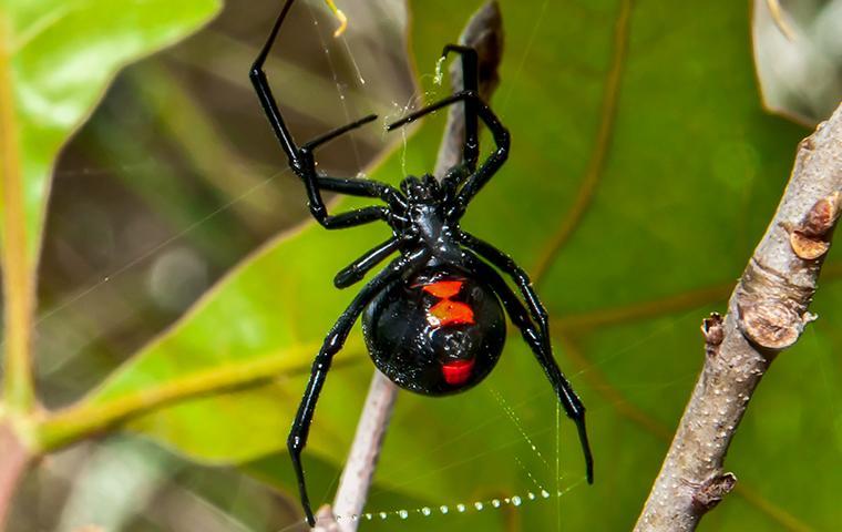 close up of black widow spider