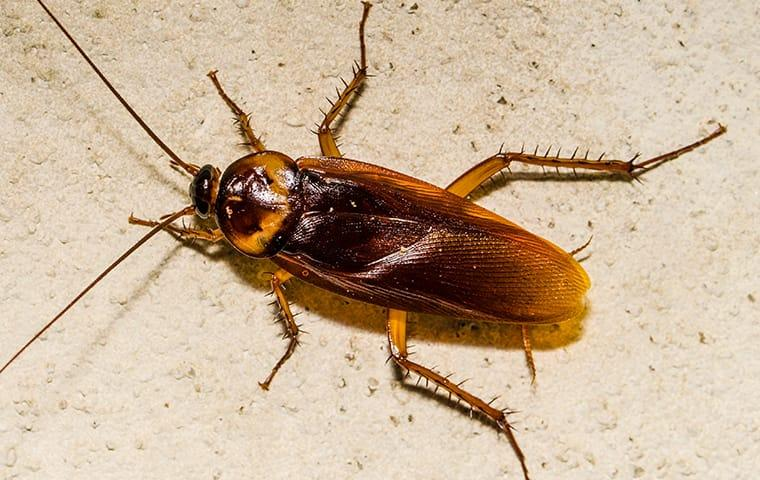 an american cockroach crawling on a kitchen floor in indianapolis indiana