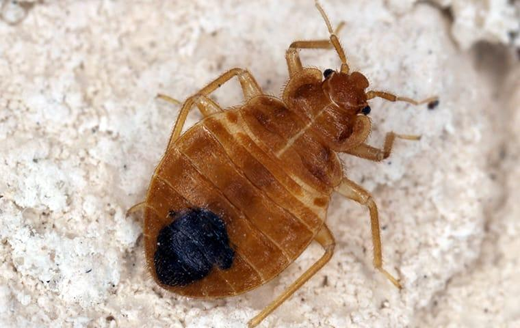 a bed bug crawling on a mattress in indianapolis indiana