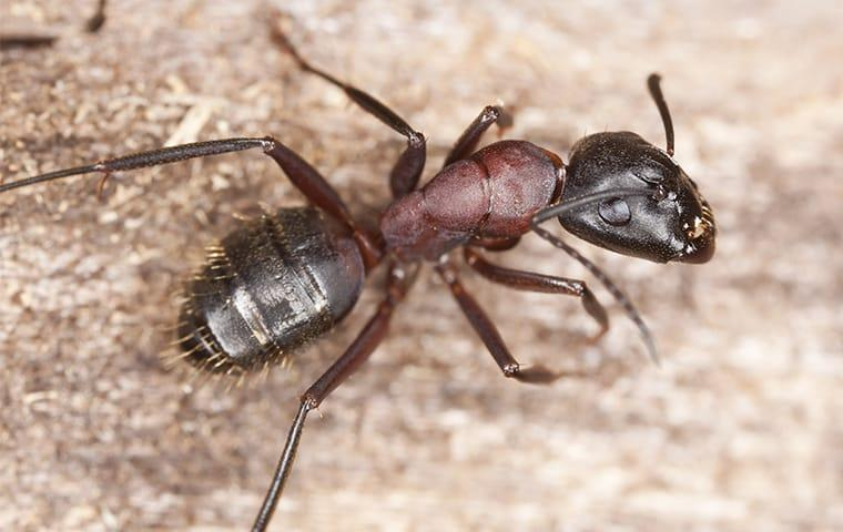 a carpenter ant crawling on wood in indianapolis indiana