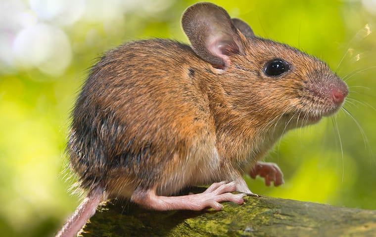 a field mouse sits in a yard in indianapolis indiana