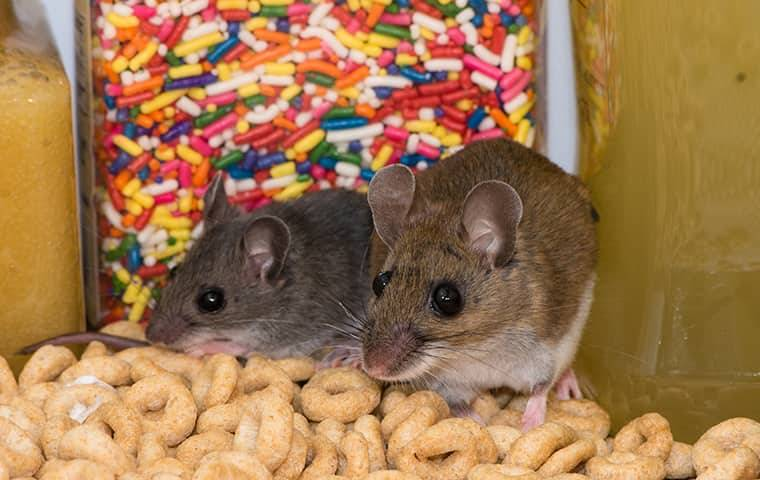mice in a pile of cereal