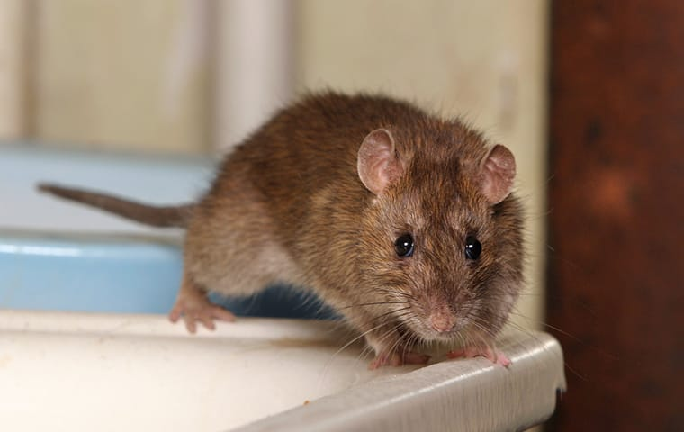 norway rat inside a home
