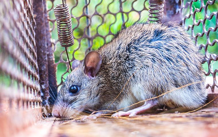 rat in a cage in dallas texas