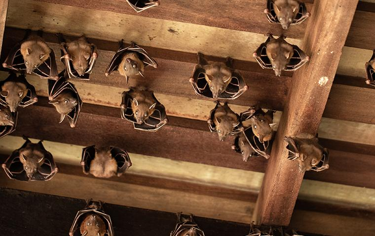 bats hanging in an attic in dallas texas