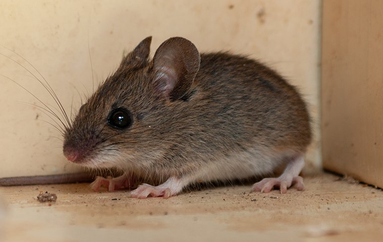 a mouse on a wooden floor in dallas texas