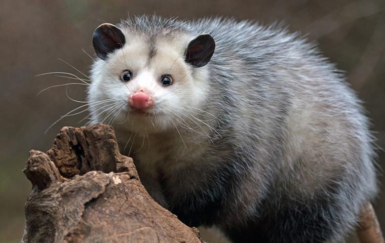 an opossum on wood in dallas texas