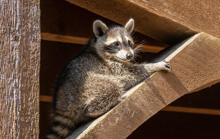 raccoon in eaves of home in dallas texas