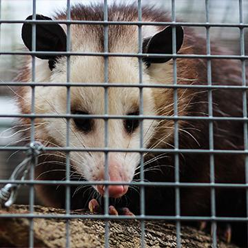 opossum in a cage in plano texas
