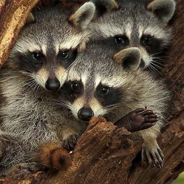 raccoons in a tree in plano texas