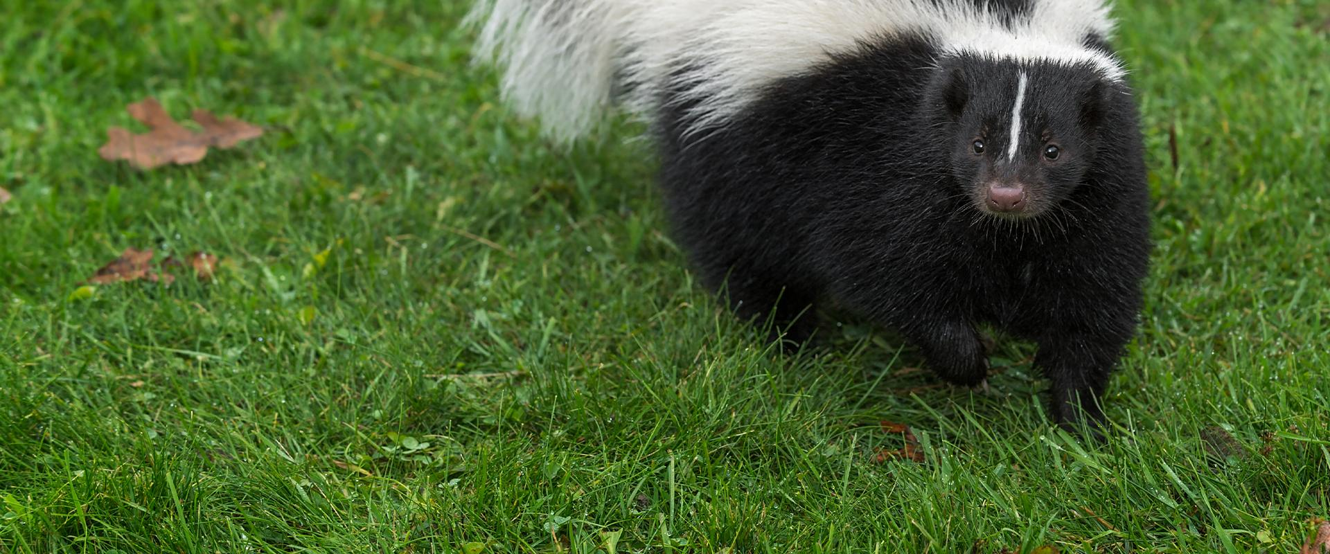 a skunk in the grass in plano texas