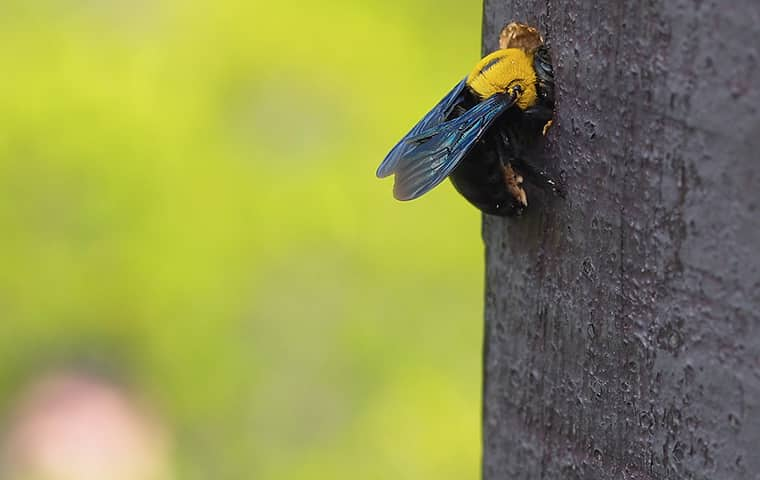 a bee on a tree in plano texas