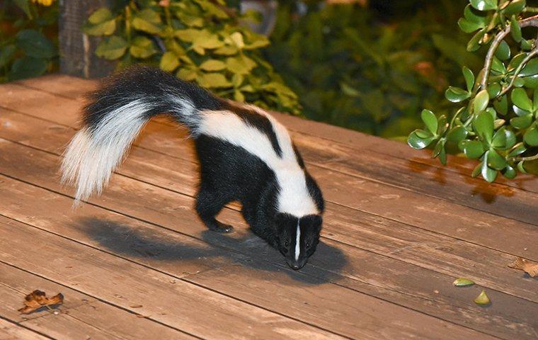 a skunk on a porch in plano texas