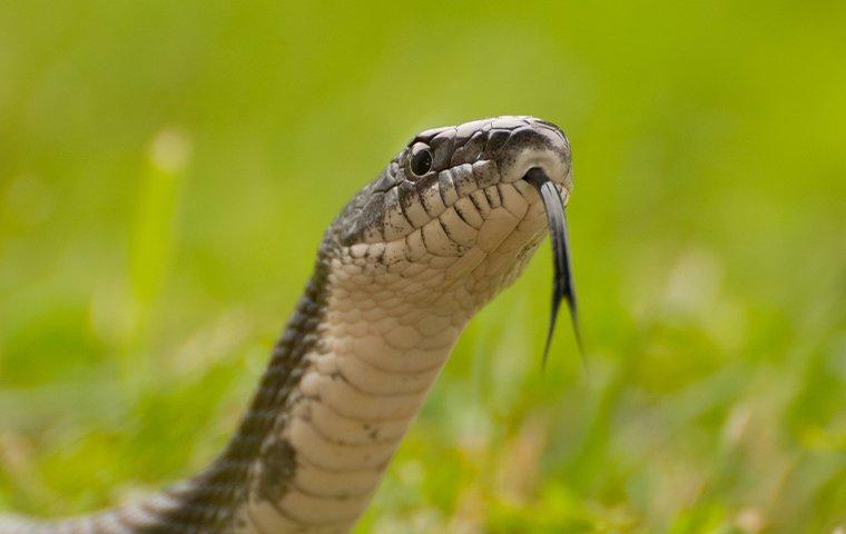 closeup of a snake in plano texas