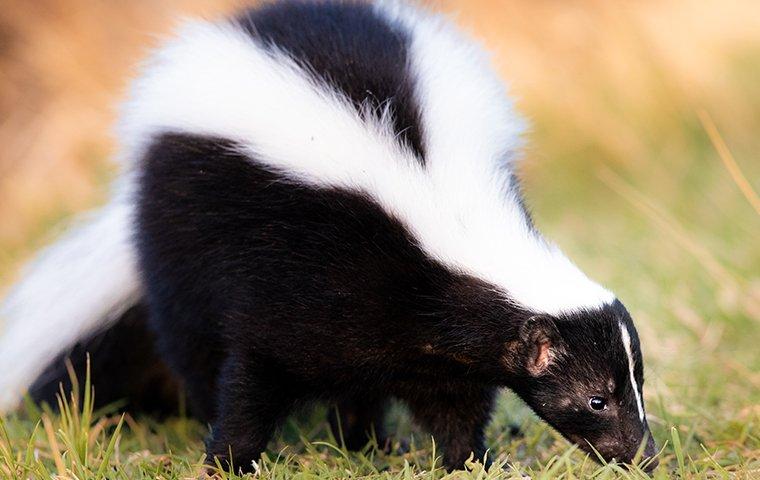 skunk in the grass in plano texas