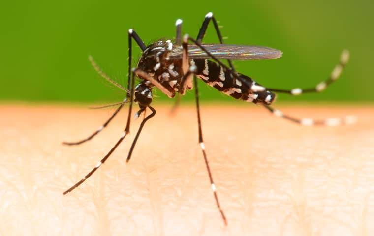 a mosquito biting a man