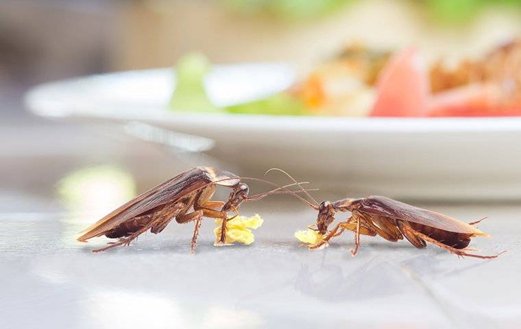 american cockroaches near a plate of food