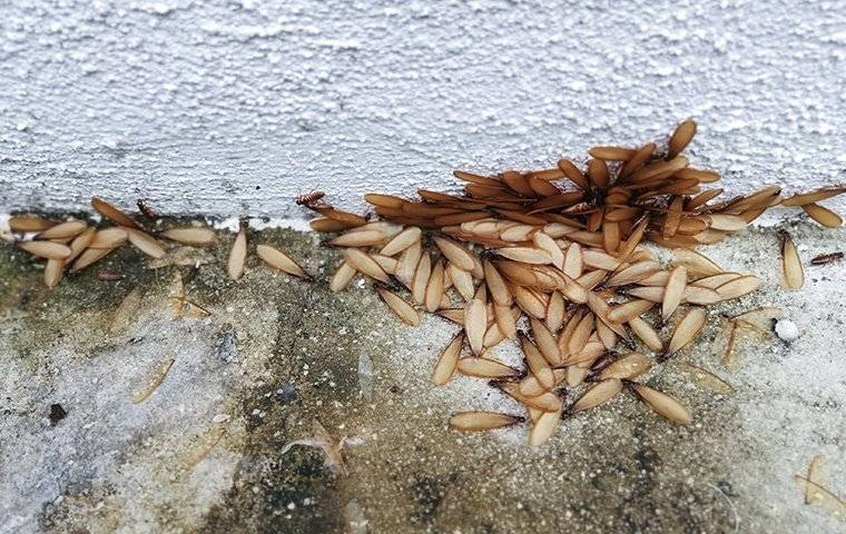 termite swarmers invading a homes foundation