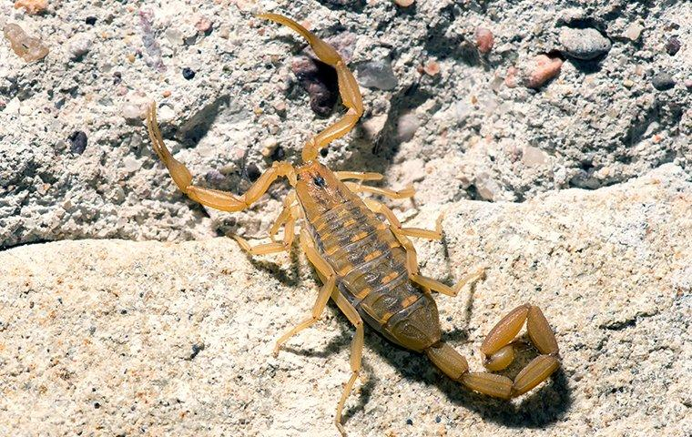 a scorpion on a rock