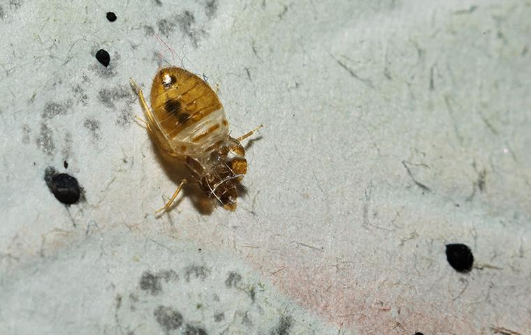 bed bug playing dead on white surface