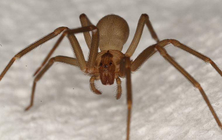 brown recluse spider on wall