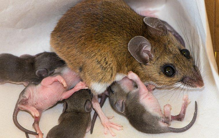 a house mouse nursing her young