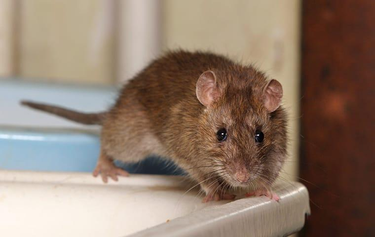 Norway rat on bathroom sink