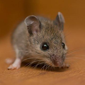 a little house mouse