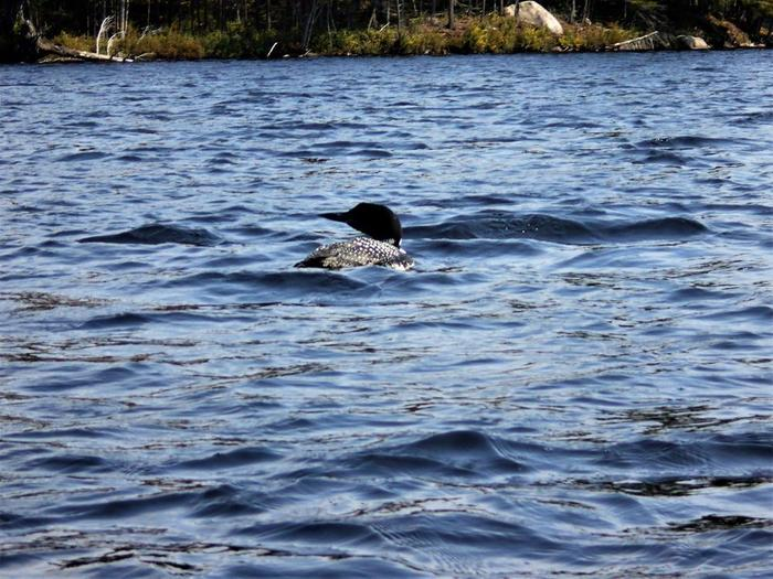 Loons are a common sight on the lake (Credit: Wm Hill- Hiking the Trail to Yesterday)