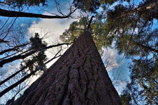 The big pine (Credit: Wm Hill/Hiking the trail to yesterday)