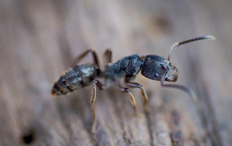 carpenter ant crawling on wood fence