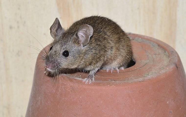 house mouse crawling on plant pot in shed