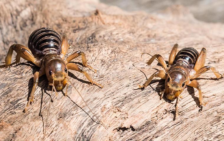 jerusalem crickets on a rock