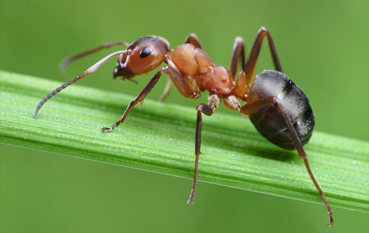 an ant on a blade of grass in upland california