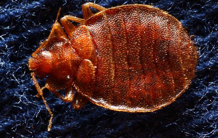 close up of a bedbug in upland california