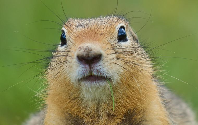 close up of a gopher in upland california