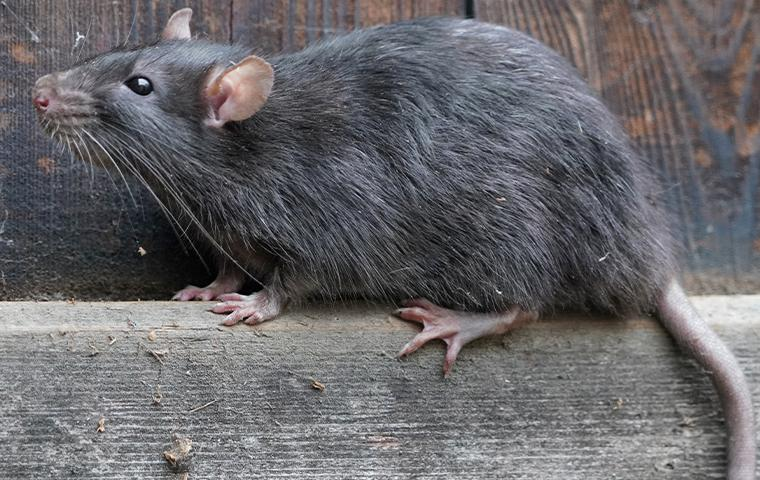 a norway rat in upland california