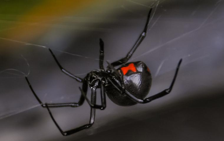 a black widow spider in its web in upland california