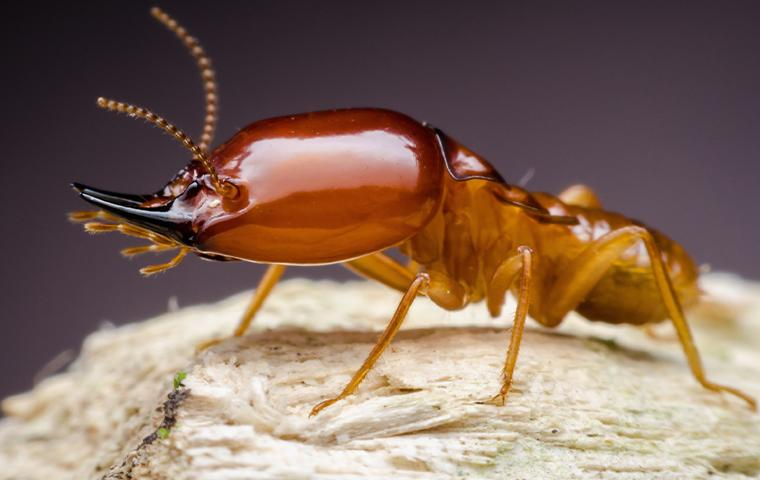close up of a termite in upland california