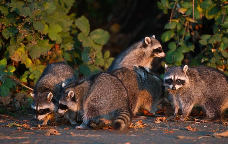 raccoons by a house