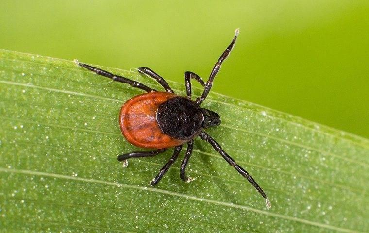 a black legged tick on a long island property