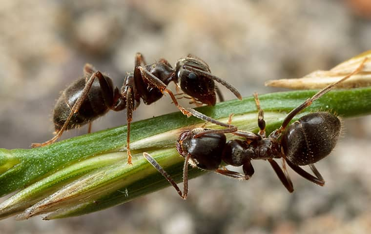 close up of two ants crawling on a plant outside of an oregon home