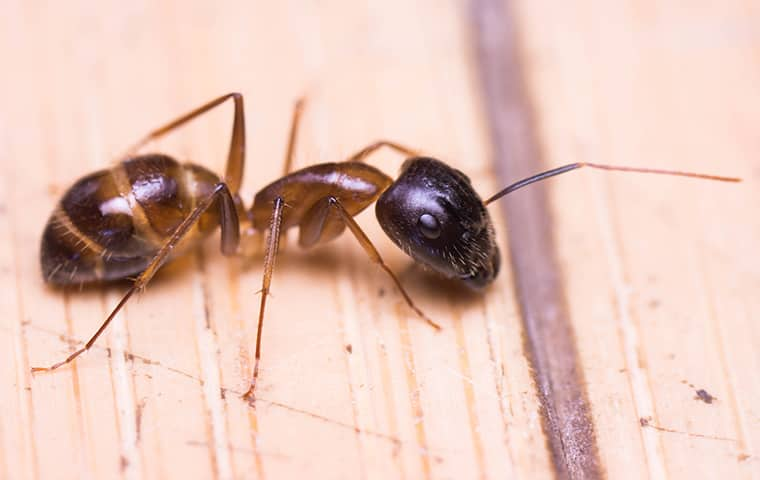 a black ant crawling on a wooden countertop in a woodburn home