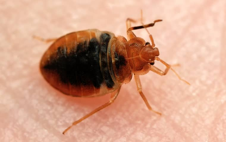 a red bed bug crawling on a persons skin in an oregon home