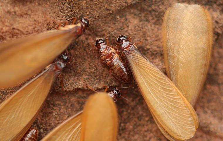 a large colony of swarming termites in woodburn oregondestoying a wooden structure hidden with walls